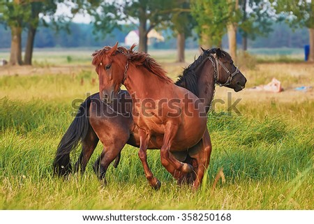 Games stallions and mares in the pasture - stock photo