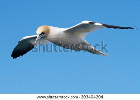 Gannet - stock photo