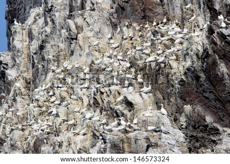 gannet colony in the cliffs of rock bass - stock photo