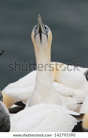 gannet Helgoland island nature reserve wildlife haven German North Sea colonies of seabirds and seals on the Frisian islands  germany hamburg nature reserves gull and gannet