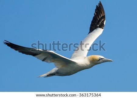 Gannet in flight in Bretagne, France - stock photo
