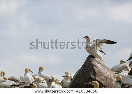 Gannet (Morus bassanus) spreading his wings, Saltees Island, Ireland