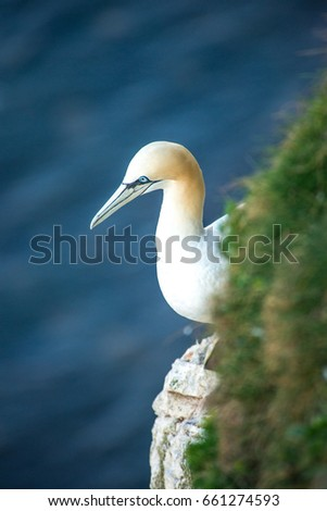 Gannet on a rock by the cliff.