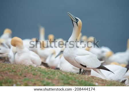 Gannet on the coast of Helgoland (Morus bassanus)