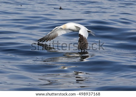 Gannet reflection