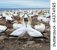 Gannets at Cape Kidnappers Gannet Colony, Hawkes Bay, New Zealand - stock photo