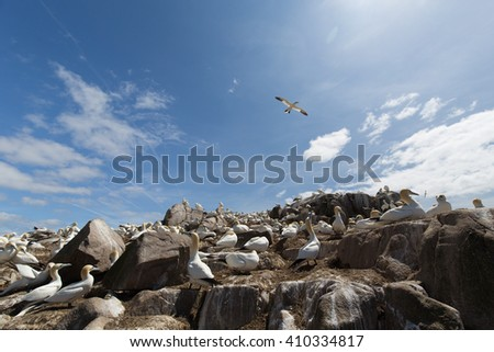 Gannets (Morus bassanus) nesting and flying in the sky, Saltees Island, Ireland