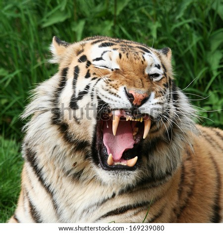 gaping Tiger  - stock photo