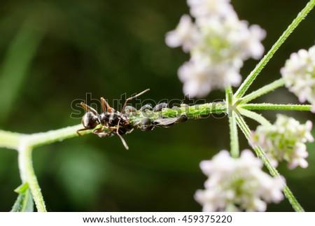 garden ant herding little aphid colony - stock photo