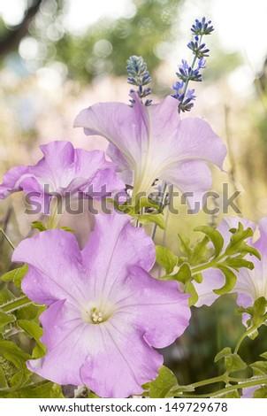 Garden beautiful flower - stock photo