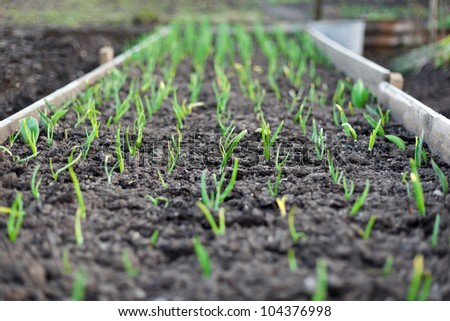 Garden beds with seedlings and leafy greens - stock photo