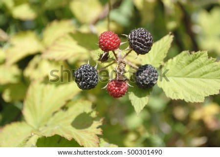 garden BlackBerry