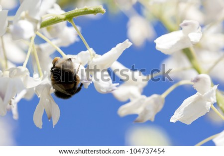 Garden bumble bee on wisteria
