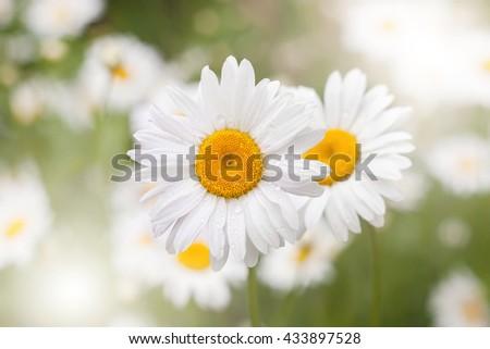 garden camomile. close up - stock photo