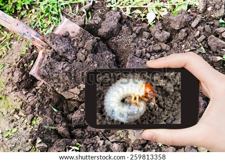 garden concept - man taking photo of white grub of cockchafer on ground on mobile gadget in garden - stock photo