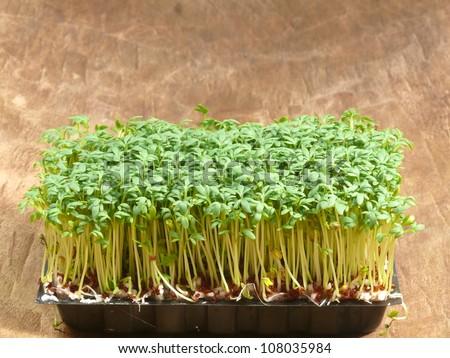 Garden Cress Stock Images RoyaltyFree Images Vectors