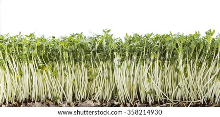 Garden Cress (close-up shot) isolated on white background