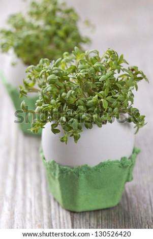 Garden cress in an eggshell - stock photo