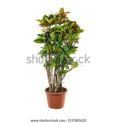 Garden Croton isolated on a white background - stock photo