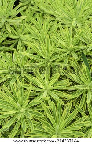 Garden cultivar of spurge (binomial name: Euphorbia x martinii 'Ascot Rainbow'), August in northern Illinois - stock photo