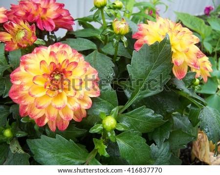 Garden  Dahlia  - stock photo