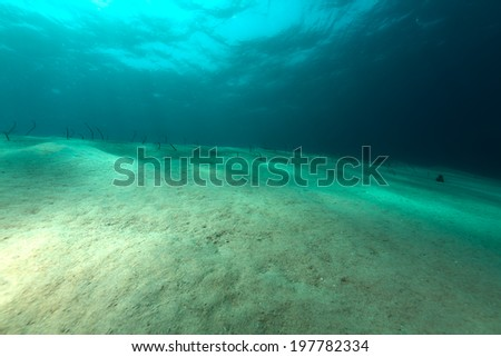 Garden eels  in the Red Sea - stock photo