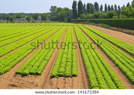 Garden field with rows of green lettuce