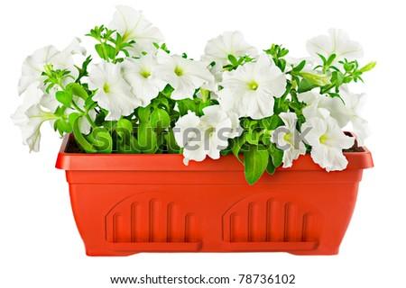 Garden flower pot with white petunia plant isolated on white - stock photo