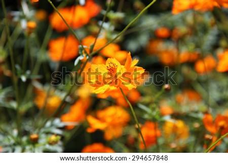 Garden flowers orange Cosmea - stock photo