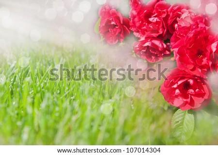 Garden flowers. Roses - stock photo