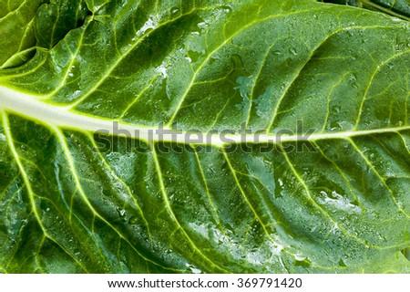 Garden fresh Swiss chard (silverbeet) leaves  - stock photo
