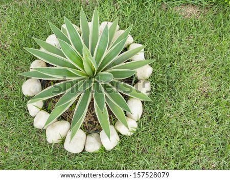 Awesome Garden Lawn Ornamental Plants Agave Caribbean Scientific Name Agave  Angustifolia ...
