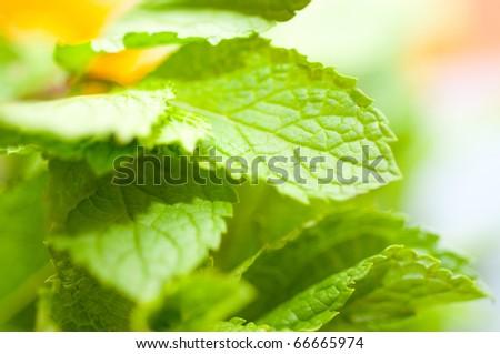 garden mint - stock photo