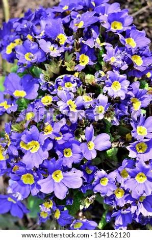 Garden of beautiful purple flowers - stock photo