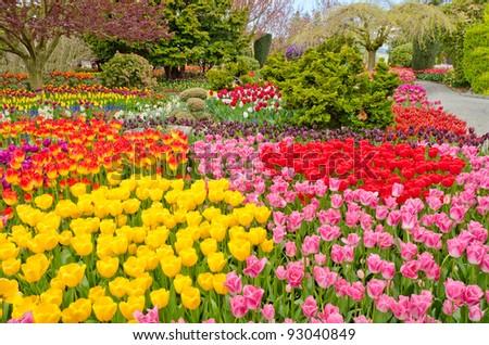 Garden of tulips at Skagit, Washington State, America. - stock photo