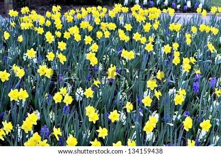 Garden of yellow flowers - stock photo