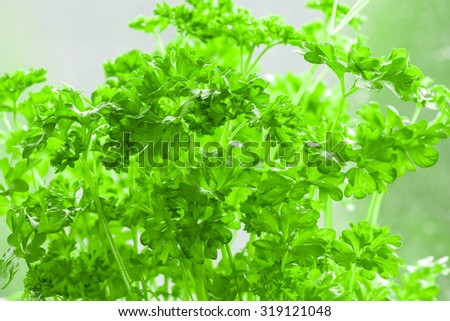 Garden Parsley - Petroselinum crispum, Parsley or garden parsley Petroselinum crispum is a species of Petroselinum in the family Apiaceae and widely cultivated as a herb, a spice, and a vegetable.