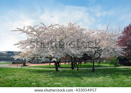 Garden pink flowering cherry trees in the spring. Meadow in the foreground.