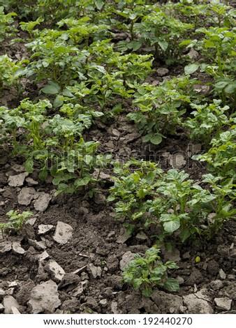 Garden potatoes seed growing - stock photo
