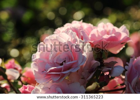 garden roses outdoor at sunset light