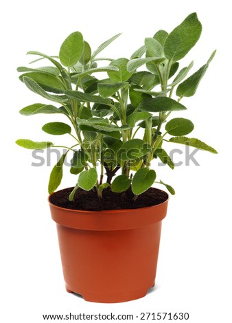 Garden sage in pot isolated on white background. - stock photo
