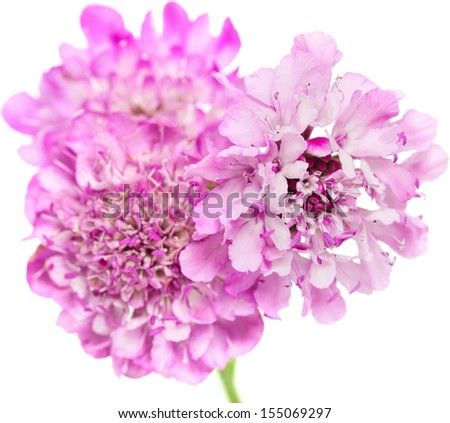 garden Scabiosa isolated on white