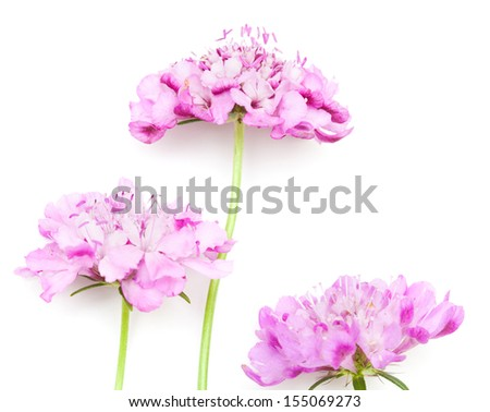 garden Scabiosa on white surface