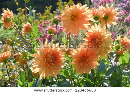 Garden Scene with Chrysanthemums in Bloom