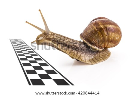 Garden snail (Helix aspersa) approaching the finish line on white background. Teamwork concept, competition. - stock photo