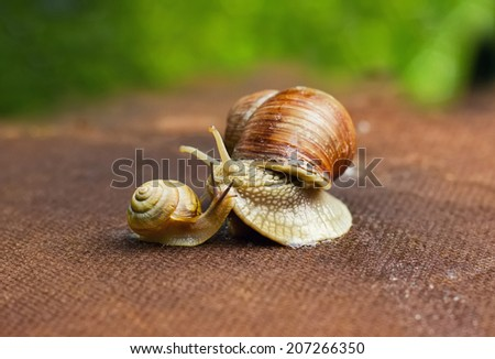 Garden snail (Helix aspersa) with small snail, the big snail is taking care about the little one - stock photo