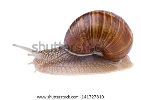 garden snail (Helix pomatia) isolated on white - stock photo