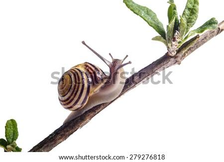 Garden Snail on Branc, isolated on white - stock photo