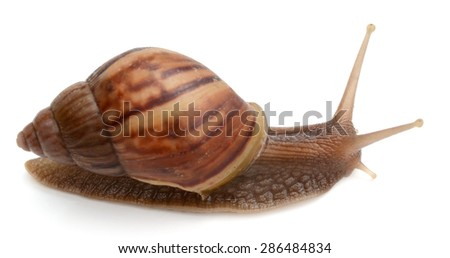 Garden snail on white background - stock photo