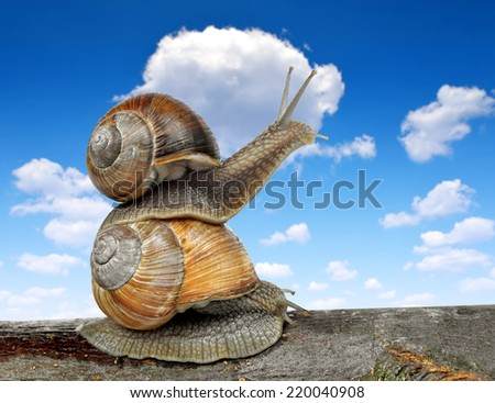 Garden snails (Helix aspersa) on blue sky - stock photo